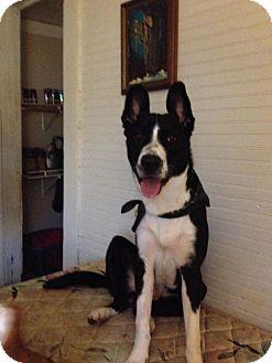 Border Collie/Australian Shepherd Mix Dog for adoption in Charlotte, North Carolina - Samson