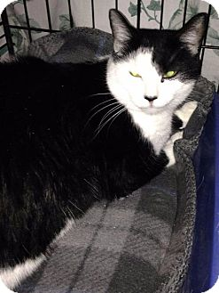 Domestic Shorthair Cat for adoption in Freeport, New York - Inty