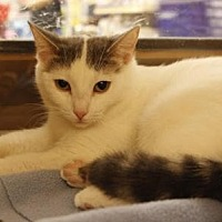 Domestic Shorthair Cat for adoption in Richmond Hill, Ontario - Snowball (Bonded to Zazu)