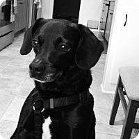 Adopt A Pet :: Shadow - Bellingham, WA