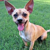 Chihuahua Mix Dog for adoption in McKinney, Texas - Cody