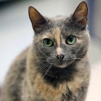Adopt A Pet :: Savannah - Merriam, KS