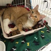 Adopt A Pet :: Tiger - Chicago, IL