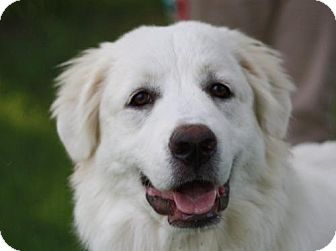 Great Pyrenees Dog for adoption in Staunton, Virginia - Nola - ADOPTION IN PROGRESS