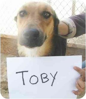 Chesapeake Bay Retriever/Shepherd (Unknown Type) Mix Dog for adoption in Vista, California - Toby