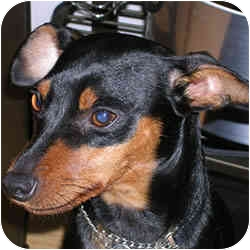 Miniature Pinscher Mix Dog for adoption in Greensboro, North Carolina - Chewy