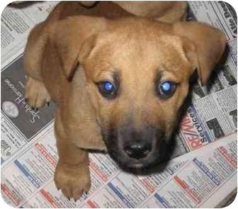 Shepherd (Unknown Type) Mix Puppy for adoption in Newburgh, Indiana - Suzy