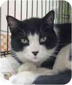 Domestic Shorthair Cat for adoption in Norwalk, Connecticut - Claudia