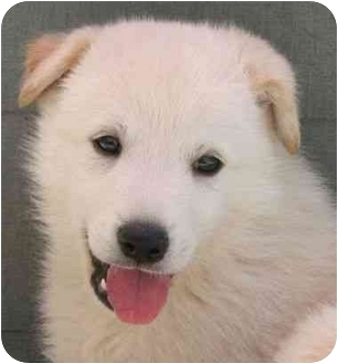 Great Pyrenees Mix Puppy for adoption in Spruce Pine, North Carolina - Major