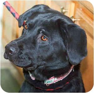 Labrador Retriever Mix Dog for adoption in Warren, Pennsylvania - Ebony