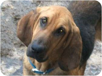 Bloodhound Puppy for adoption in Harrisburgh, Pennsylvania - Kingston