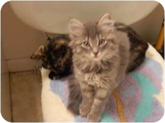 Domestic Mediumhair Kitten for adoption in Queensbury, New York - Gizmo