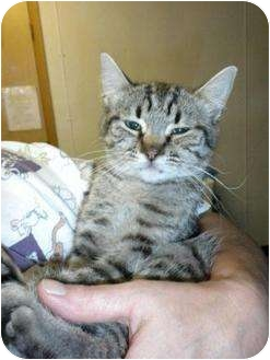 Bengal Cat for adoption in Shelbyville, Kentucky - Tami