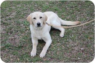 Labrador Retriever Dog for adoption in Carrollton, Georgia - Abby