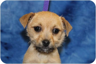 Terrier (Unknown Type, Small) Mix Puppy for adoption in Broomfield, Colorado - Diana Ross