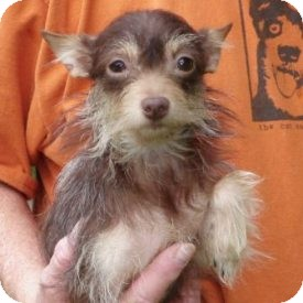 Chihuahua/Yorkie, Yorkshire Terrier Mix Dog for adoption in North Wilkesboro, North Carolina - Baby