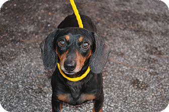 Dachshund Dog for adoption in Edwardsville, Illinois - Roudy
