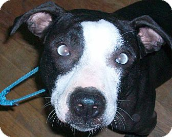 American Staffordshire Terrier/American Pit Bull Terrier Mix Dog for adoption in Groveport, Ohio - Ryachu