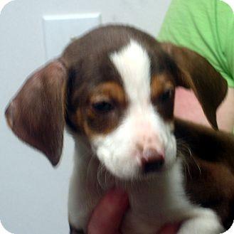 Beagle/Feist Mix Puppy for adoption in Manassas, Virginia - Cletus