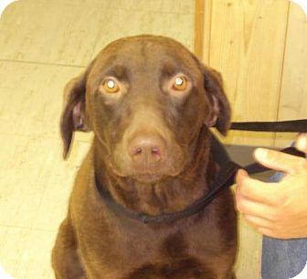 Labrador Retriever Mix Dog for adoption in Mt. Vernon, Illinois - Mushy