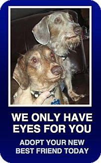 Dachshund Dog for adoption in Morrisville, Pennsylvania - Jessie & Joe