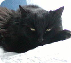 Domestic Longhair Cat for adoption in Sterling Hgts, Michigan - Rudy (doglike personality)