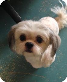 Shih Tzu Dog for adoption in Gainesville, Florida - Lollie
