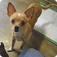 Adopt A Pet :: Bella - Wickenburg, AZ