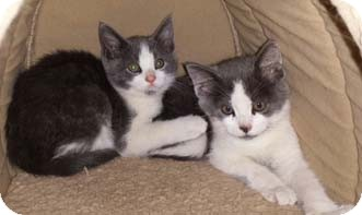 Domestic Shorthair Kitten for adoption in Merrifield, Virginia - Wills