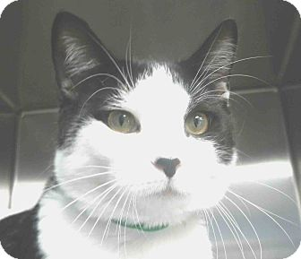 Domestic Shorthair Cat for adoption in Tinton Falls, New Jersey - Pasten