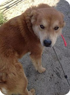 Chow Chow Mix Dog for adoption in Lapeer, Michigan - GRANGER--CHOW MIX-GORGEOUS!