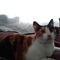 Calico Cat for adoption in San Dimas, California - Athena