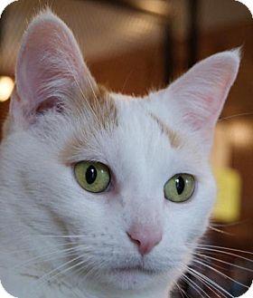 Domestic Shorthair Cat for adoption in Parkville, Missouri - Tulip