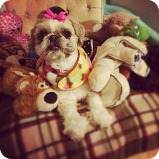 Shih Tzu Dog for adoption in Seattle, Washington - Kiddie