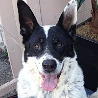 Adopt A Pet :: Chance - Canoga Park, CA