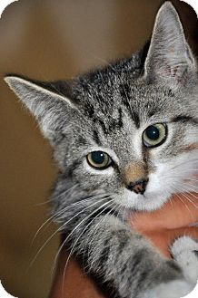 Domestic Shorthair Kitten for adoption in Danbury, Connecticut - Fern
