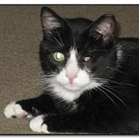 Domestic Shorthair Cat for adoption in Hamilton, New Jersey - TUXEDO