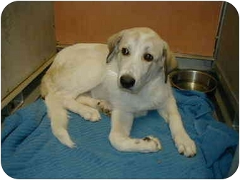 Anatolian Shepherd Mix Dog for adoption in Riverside, California - Quinella