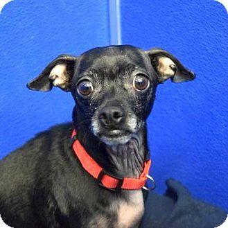 Chihuahua/Dachshund Mix Dog for adoption in Denver, Colorado - Kingston