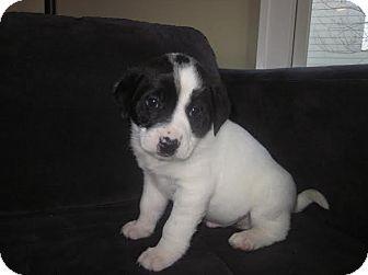 Boxer/Labrador Retriever Mix Puppy for adoption in Hainesville, Illinois - Andrew
