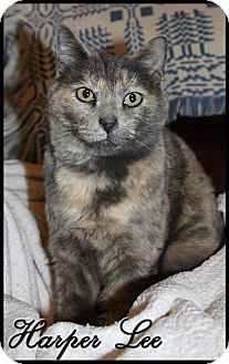 Domestic Shorthair Cat for adoption in Wartburg, Tennessee - Harper Lee