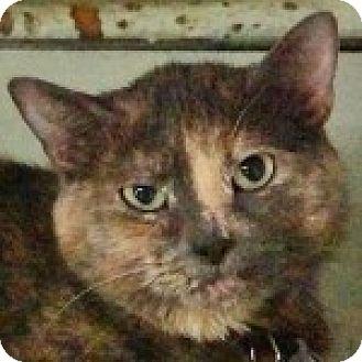 Calico Cat for adoption in Medford, Massachusetts - Spin