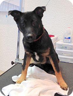 German Shepherd Dog/Australian Cattle Dog Mix Dog for adoption in Bloomington, Illinois - Jagger