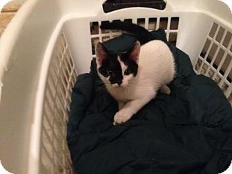 Domestic Shorthair Kitten for adoption in Manhattan, Kansas - Jojo