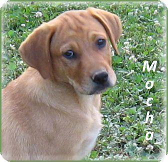 English Shepherd/Labrador Retriever Mix Puppy for adoption in Marlborough, Massachusetts - Mocha