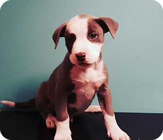 Terrier (Unknown Type, Medium) Mix Puppy for adoption in Detroit, Michigan - Row-Adopted!