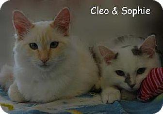 Siamese Cat for adoption in Walnut Creek, California - Cleo & Sophie