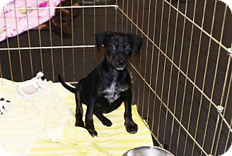Dachshund Mix Puppy for adoption in Jupiter, Florida - Chispa