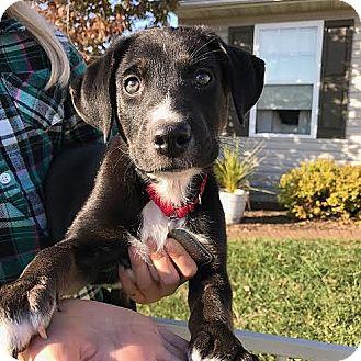 Shepherd (Unknown Type) Mix Puppy for adoption in Columbia, Illinois - Chris
