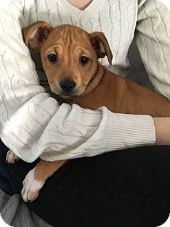 Shar Pei/Shepherd (Unknown Type) Mix Puppy for adoption in Tracy, California - Juju-ADOPTED!